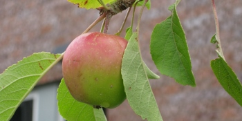 Ripening apple (350x175)
